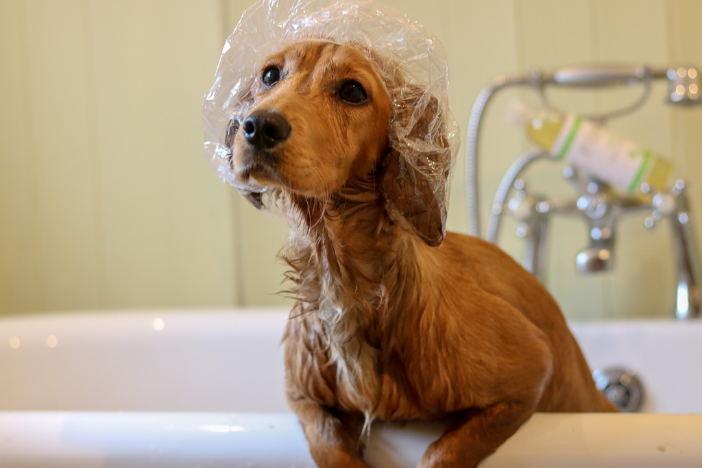 K9 Organics Dog Wash Review – Is this shampoo dog enough for spaniels?