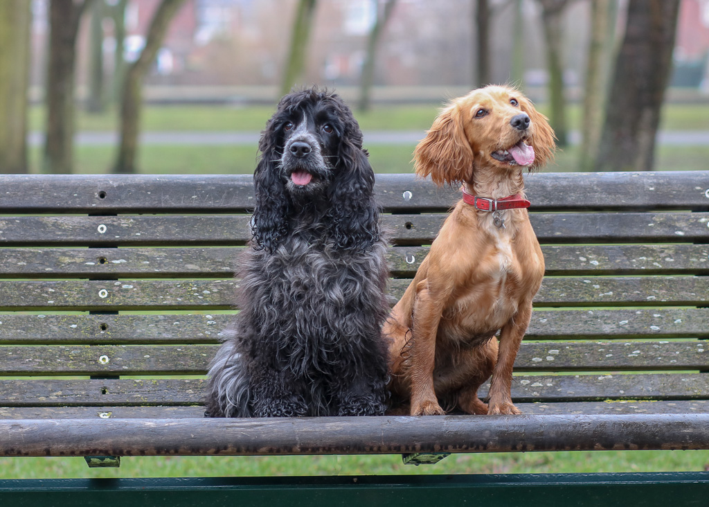 Working Cocker Spaniel or Show Cocker Spaniel – What's The Difference?