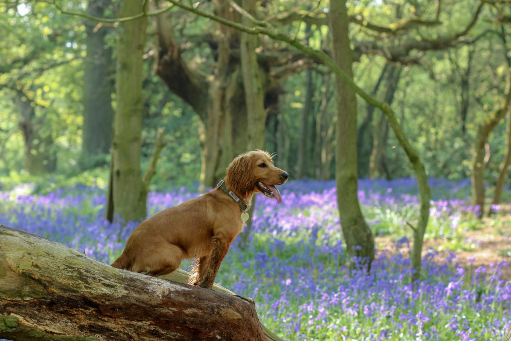Beverley Westwood Bluebell Woods #bluebellwoods